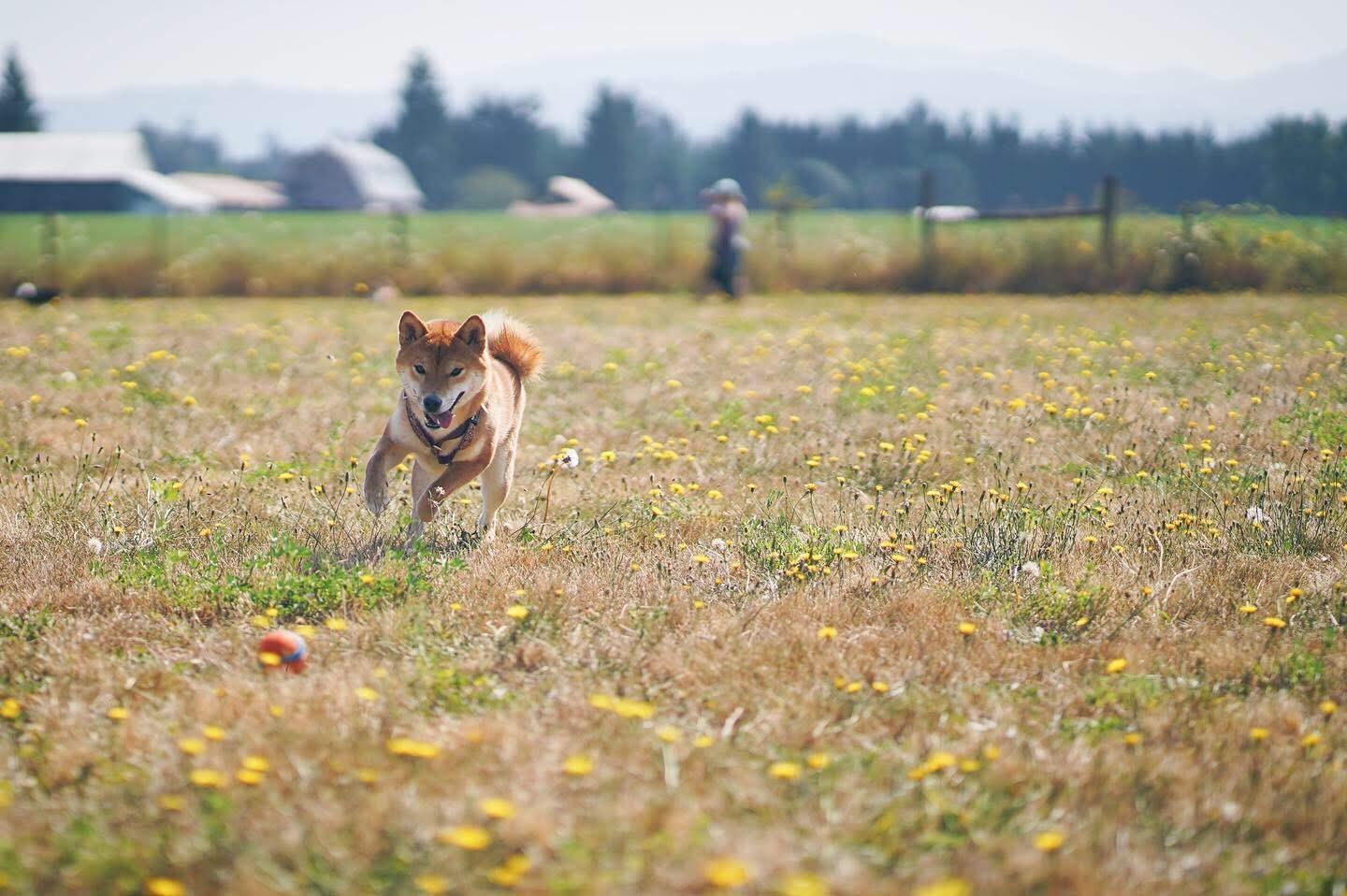 An image of a dog running through a field toward the camera.